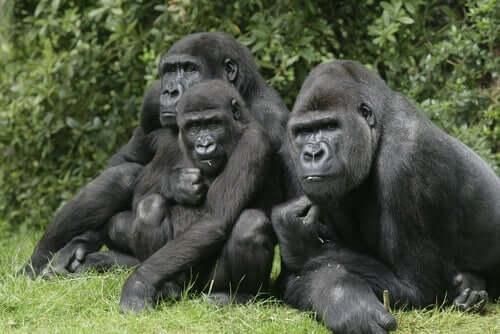 Een groep gorilla's