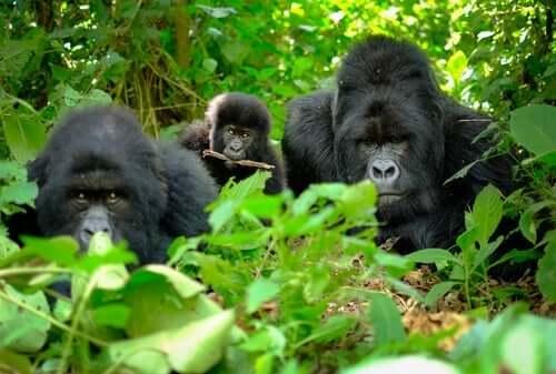 Doodsrituelen bij gorilla's