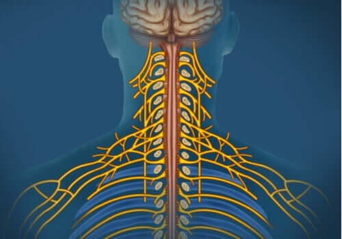 Het somatisch zenuwstelsel: kenmerken en taken
