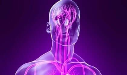 Een afbeelding van het zenuwstelsel binnen het lichaam