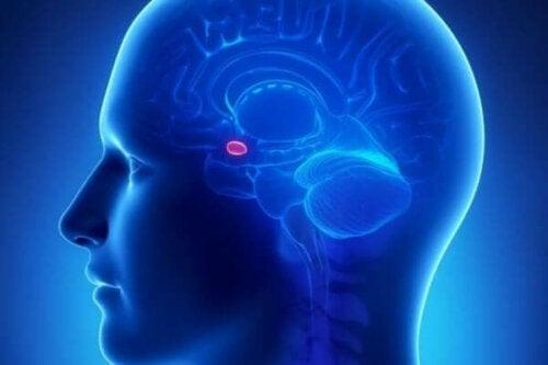De plaats van de amygdala in de hersenen