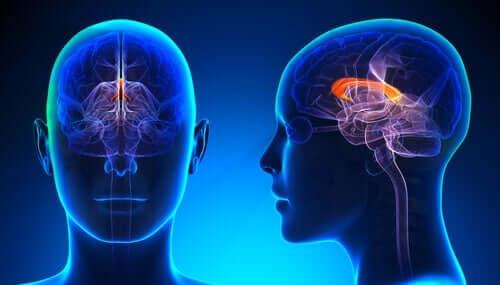 Binnen in het linkshandige brein