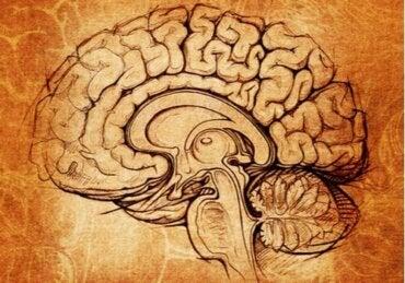De nucleus lentiformis: centrum voor leren en motivatie
