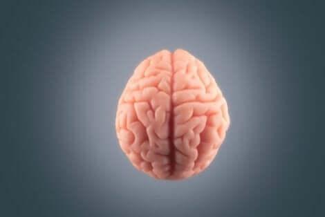 Een afbeelding van de hersenen van boven gezien