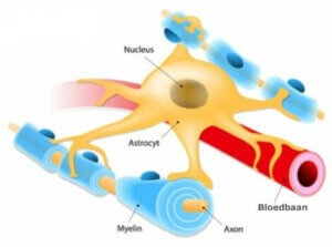Astrocyten: de bouwstenen van de zenuwbanen