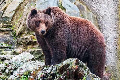 Een bruine beer die op een rots staat