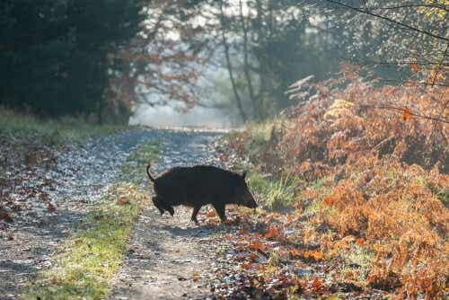 Een everzwijn dat een weg oversteekt