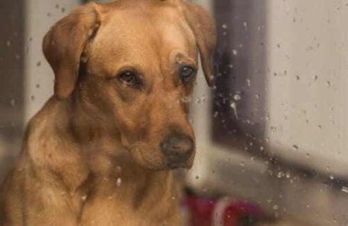 Hond kijkt uit regenachtig raam