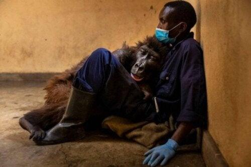Ndakasi de gorilla, verlaat deze wereld in de armen van haar verzorger